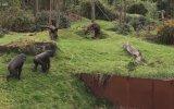 Ördek Yavrularını Ele Geçirip Yiyen Goriller