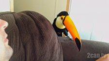 Channel-Billed Toucan Kuşunun Sevimliliği