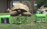 97 Yaşındaki Kaplumbağadan Derbi Tahmini