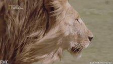 Yırtıcı Hayvanların Avlanma Anları!