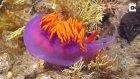 Muhteşem Renklere Sahip İlginç Deniz Canlısı