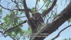 Dünyanın En Aptal Memeli Hayvanı- Koala