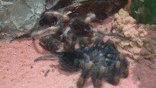 Tarantula'nın Kabuk Değiştirmesi