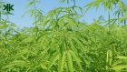 Yasaklı bitki Kenevir hakkında şaşırtıcı bilgiler