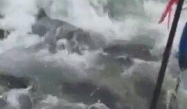 Bir Ton Balığına Sülalece Dalan Köpek Balıkları