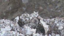 İran Örümcek Kuyruklu Boynuzlu Engerek Yılanı
