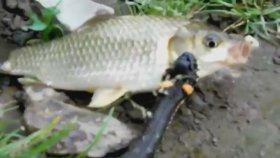 Kendinden Büyük Balığı Yemeye Çalışan Yılan