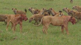 Kimin Gücü Kimi Yeterse - Amansız Yemek Mücadelesi - Aslan vs. Sırtlan