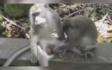 İktidarsız Maymunun Çilesi