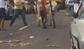 İneğe Saldıran Pitbulll Köpeği