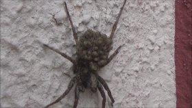Yavrularını Sırtında Taşıyan Örümcek