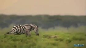 Çita Yavrularına Saldıran Zebra