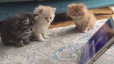 Pür Dikkat Şirinler İzleyen Yavru Kediler