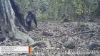 Şempanzelerde Ağaç Taşlama İbadeti
