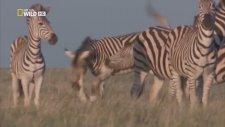 Yeni Doğan Yavruyu Öldüren Erkek Zebra