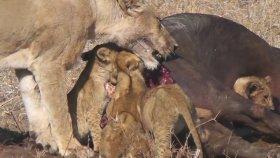 Yavru Aslanların Dişi Aslan Tarafından Öldürülmesi