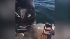 Balinalardan Kaçarak Bir Tekneye Sığınan Fok