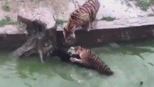 Hayvanat Bahçesindeki Kaplanlara Canlı Eşek Atmak