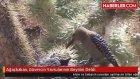 ağaçkakan siwri matkap demir gibi gagasıyla yawru kumruların beyinlerini diri diri canlı canlı yiyor