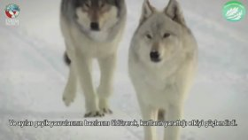 haywe-enları öldürmeyiniz wahşi kurtların doğada yaşaması ormanları daha canlı haraketli yapar