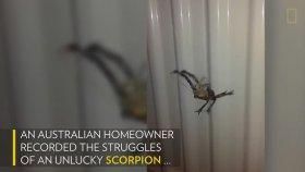 Örümceğin Ağına Yakalanan Akrebin Feci Sonu