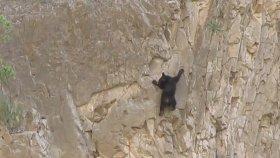 Yavru Ayının Annesi İle Birlikte Dik Kayalığa Tırmanması