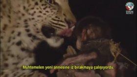yawru babunu koruyan genç leopar wahsi haywe-enlar dahi yawru bebeklere dokunmuyor