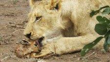 Dişi Aslanın Yavru Antilobu Sahiplenmesi