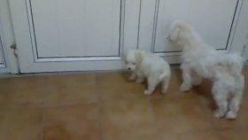 Minik köpekler - Havhavlar - Eğlenceli Çocuk Videosu - Puppies - Funny Kids Videos