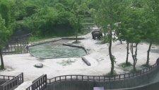 Havuza Düşen Yavrularını Organize Olup Kurtaran Filler