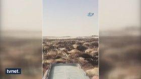 Suudi Arabistan Katar Develerini Sınır Dışı Etti