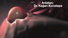 Yumurtlama, Sperm Hücresiyle Yumurta Hücresinin Birleşmesi ve Gebeliğin İlk Günleri (Animasyon).