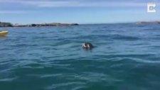Ahtapotun Fok Balığı İle Ölüm Kalım Savaşı