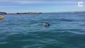 Ahtapotun Fok Balığı ile Ölüm Kalım Savaşı