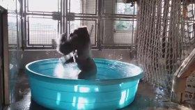 Gorilin Leğende Yıkanarak Dans Edip Eğlenmesi