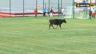Sahaya inek ve köpek girince maç yarıda kaldı