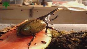Böcekler Aleminin Rekortmenleri