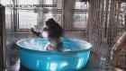 Gorilin Çılgın Havuz Eğlencesi