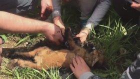 Rusya'da Bitüme Saplanan Tilki Yavrusu Kurtarıldı