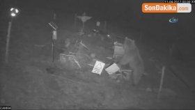 Arı Kovanlarına Saldıran Ayı Güvenlik Kamerasına Böyle Yakalandı