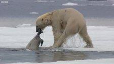 Kutup Ayısının Fok Balığını Avlaması