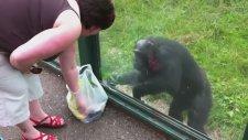 Ustalıkla İstediğini Elde Etmede Başarılı Olan Maymun!