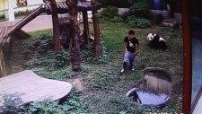 Pandanın Kafesine İzinsiz Giren Gence Saldırması