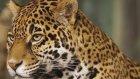 Kaplan vs Jaguar (Karşılaştırma Videosu-Kim Kazandı)