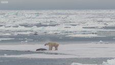 Kutup Ayısı Fok Balığı Avında - The Hunt