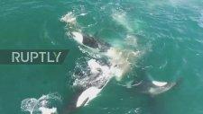 Katil Balinaların Kambur Balinayı Avlaması