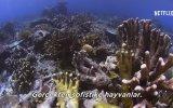 Mercan Peşinde (Chasing Coral) Türkçe Altyazılı Fragman