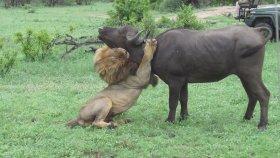 Pusuya Yatan Aslanın Bufaloyu Avlaması