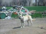 ural çiflik köpekleri