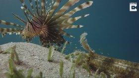 Kızıldeniz'de Görüntülenen İlginç Deniz Soluncanı